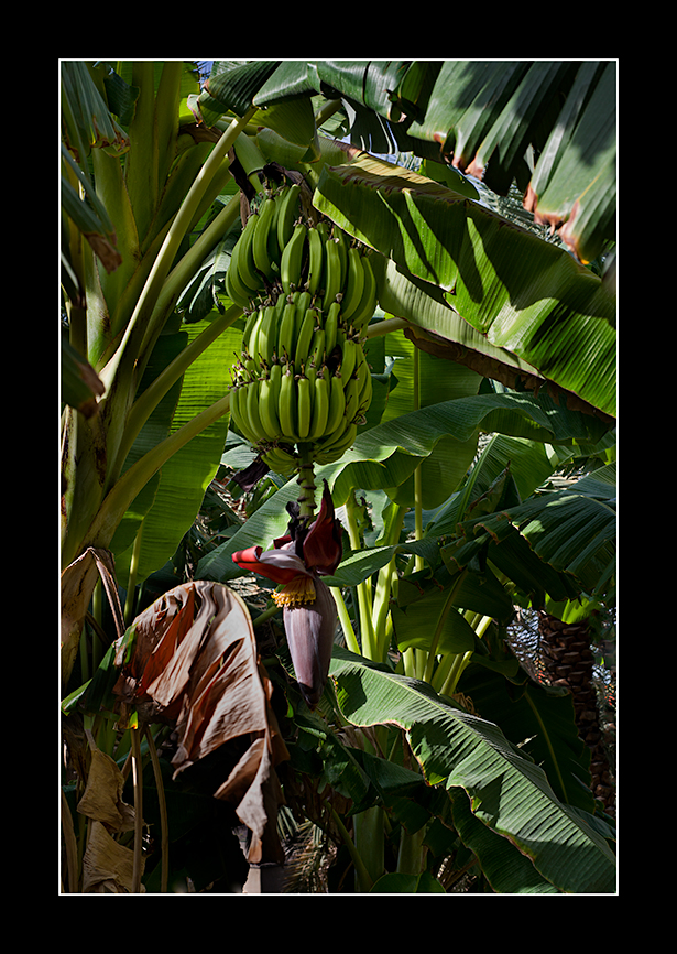 Bananas-Misfat-al-Abreen