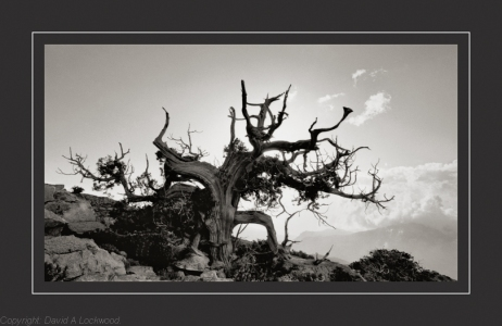 Tree Shams 3