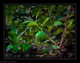 Lime M al A