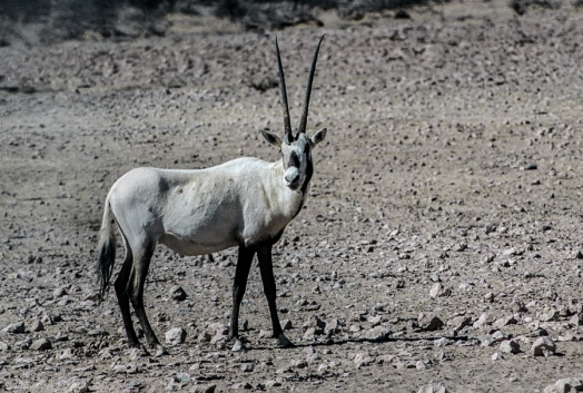 Arabian Oryx-Edit