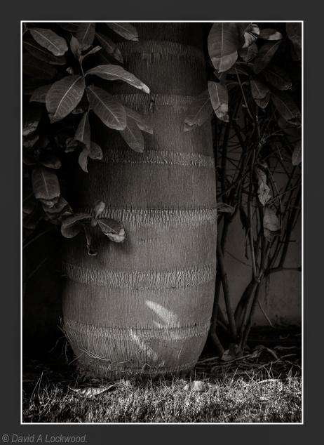 Royal Palm - Garden