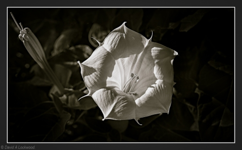 A flower in B&W