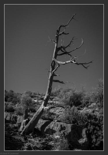 Dead Tree - Shams