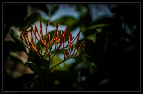Red garden flower 2