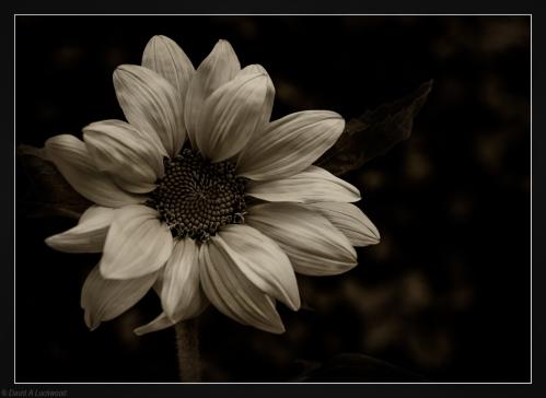Garden Sun Flower