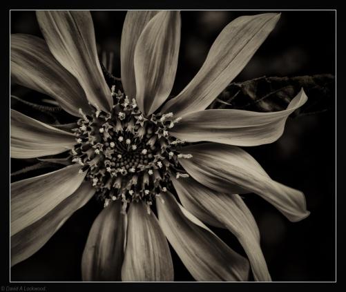 Garden Sunflower No2