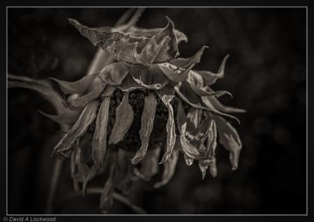 Dead Sunflower - garden No2