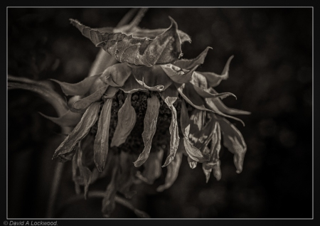 Dead Sunflower - garden No2