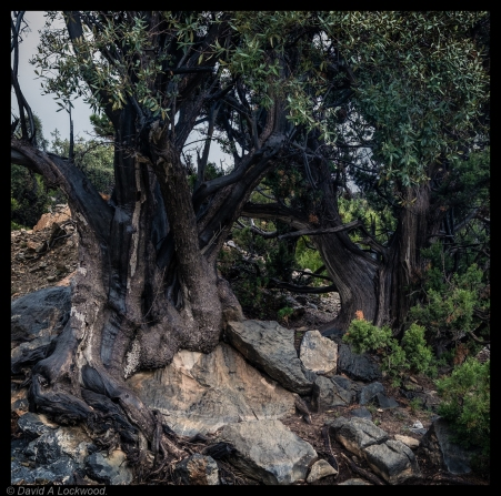 Wild Olive - Jebel Shams