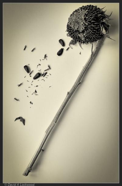Sunflower - seeds