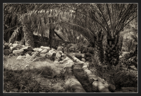 falaj-palms-no2
