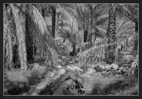 falaj-palms