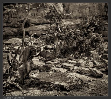 juniper-shams