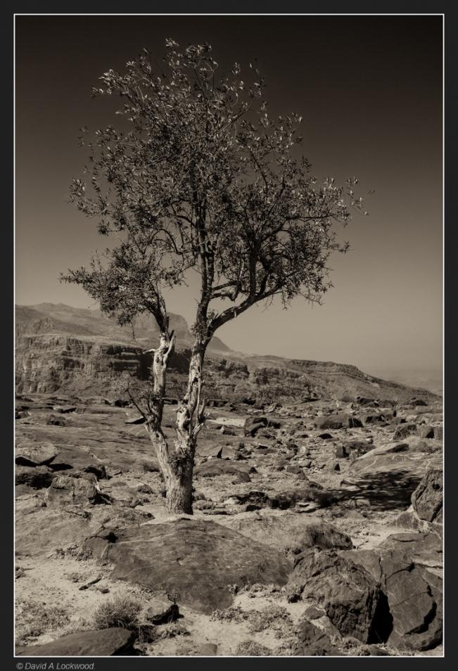 lone-tree-shams