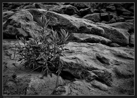 Bush-rocks-Shams