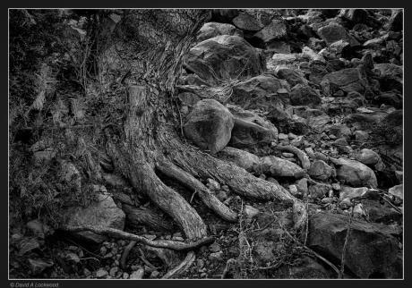 Tree roots - Shams
