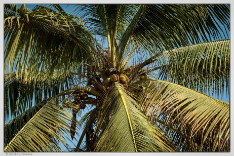 Coconut palm.
