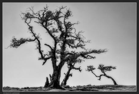 Two trees - Dhofar mountains.