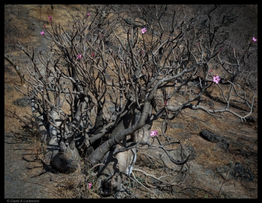 Flower 2 - Dhofar