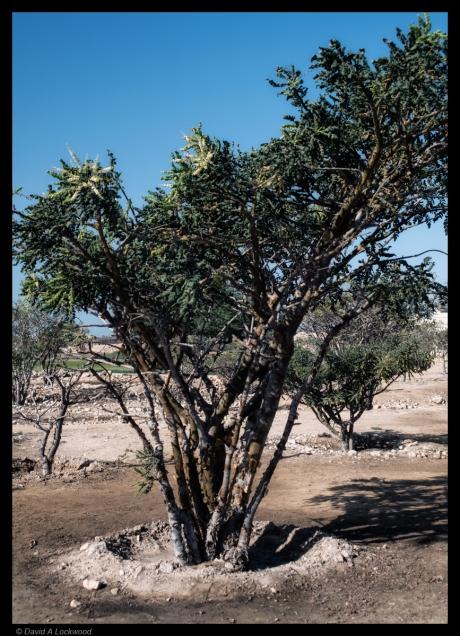 Frankincense bush.