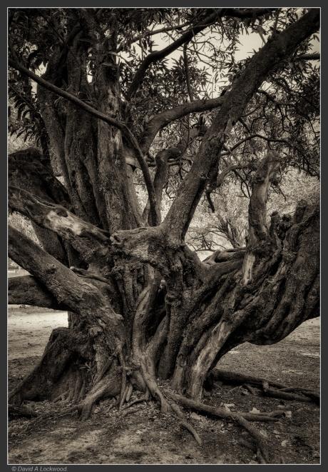 Big old tree -Wadi Darbat.