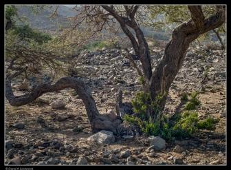 Bent & twisted tree No2