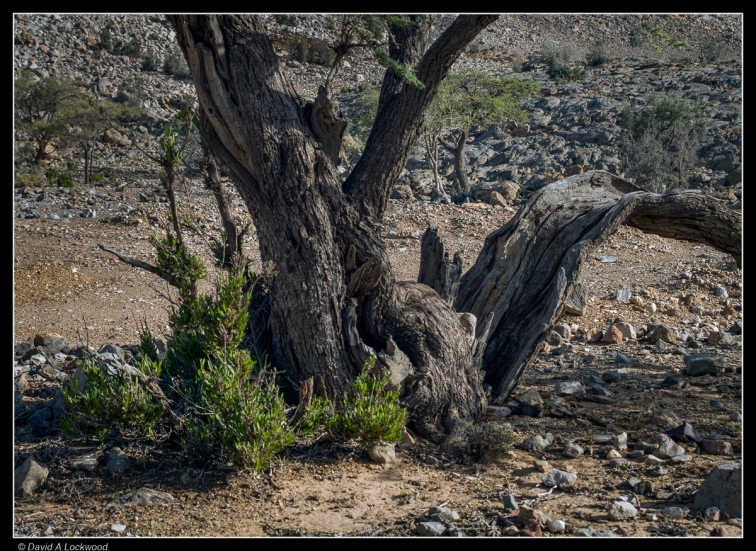 Bent & twisted tree No3