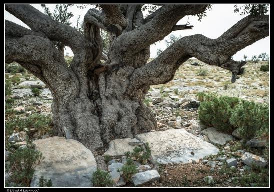 Wild Olive - Al Jabal Al Akhdar No2