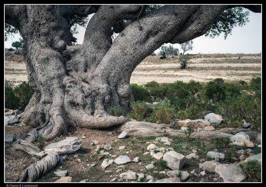 Wild Olive - Al Jabal Al Akhdar_